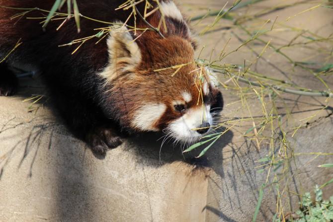市川市動植物園のレッサーパンダ、ミーアキャット、カピバラ