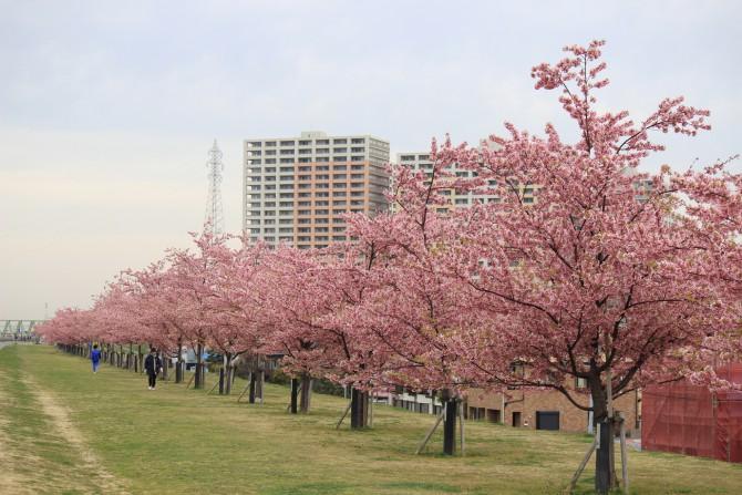 市川駅周辺のお花見ポイントの開花状況
