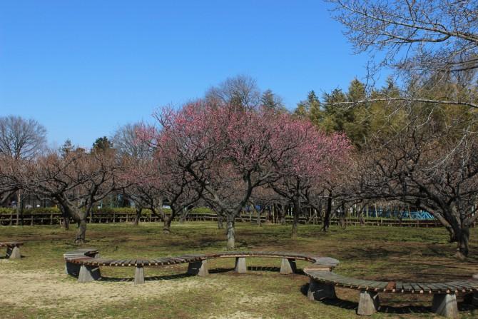 市川市動植物園の開花状況 2012年3月15日撮影