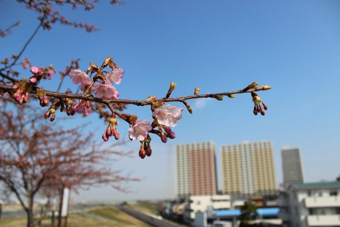 江戸川の桜並木(河津桜)の開花状況 2012年3月15日