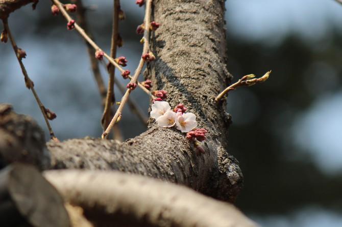 真間山弘法寺の伏姫桜が咲き始めました。