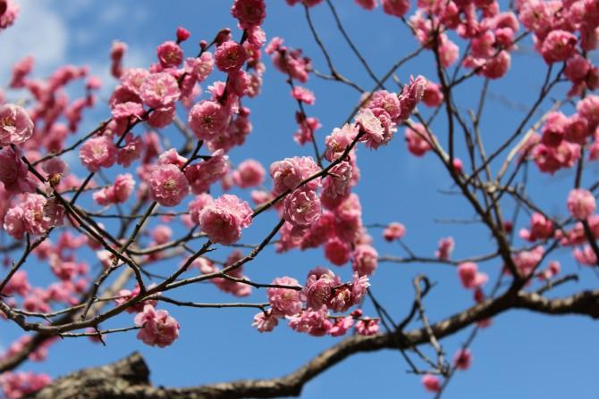 里見公園の開花状況 2012年3月14日