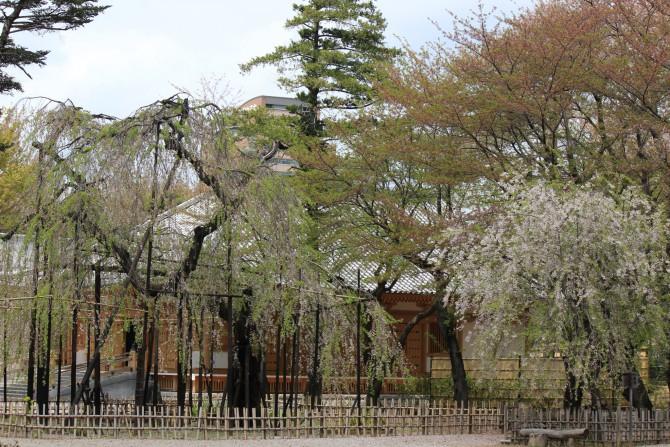 市川駅周辺のお花見ポイントの開花状況(2012年4月19日時点)