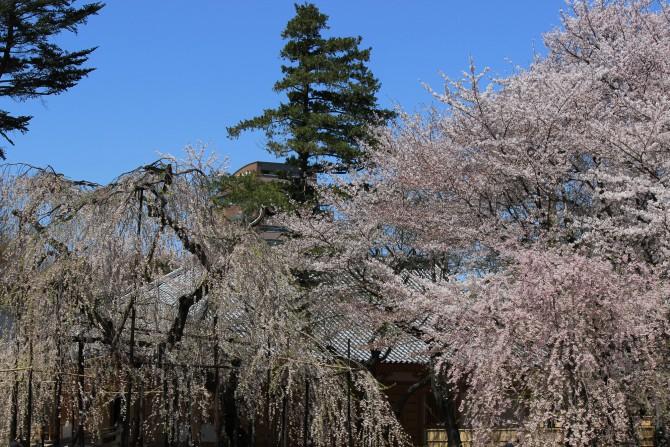 市川駅周辺のお花見ポイントの開花状況(2012年4月12日時点)