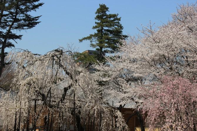 市川駅周辺の桜も満開
