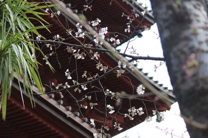 中山法華経寺の開花状況(2012年4月4日時点)