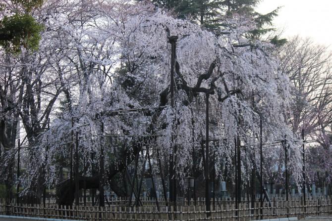 市川駅周辺のお花見ポイントの開花状況(2012年4月5日時点)