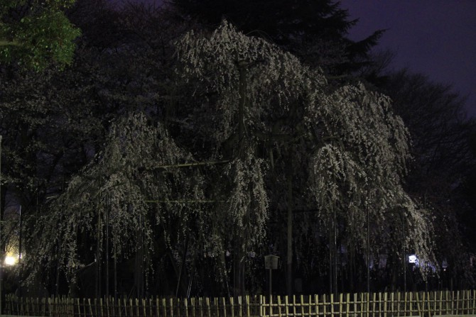 夜の伏姫桜