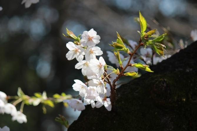 須和田公園の桜