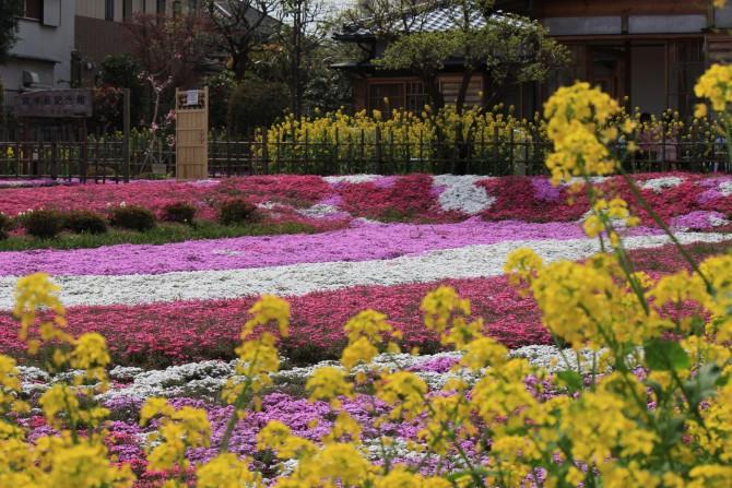 郭沫若記念館の芝桜と菜の花