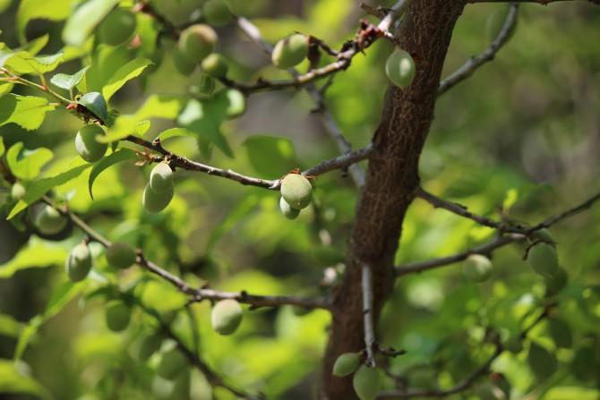 じゅん菜池緑地の梅の実