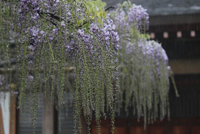 高圓寺の「藤まつり」