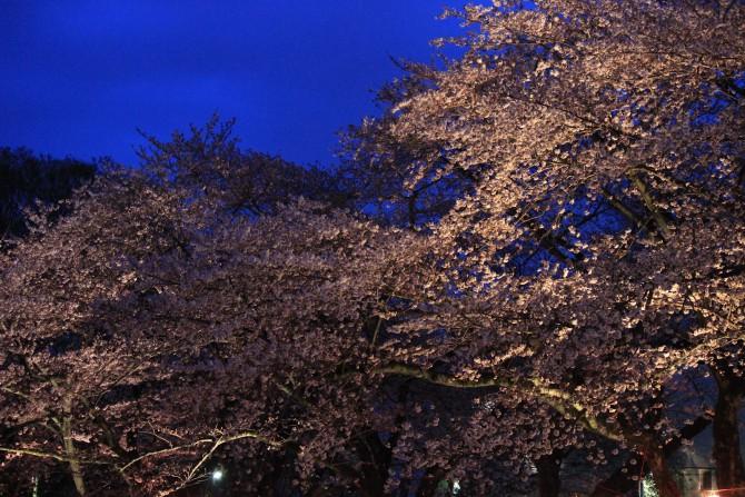 ライトアップされた桜(里見公園にて)