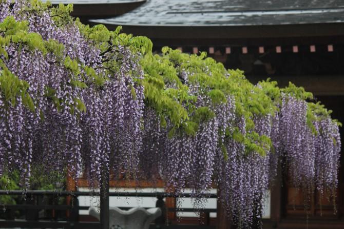 高圓寺の藤まつり