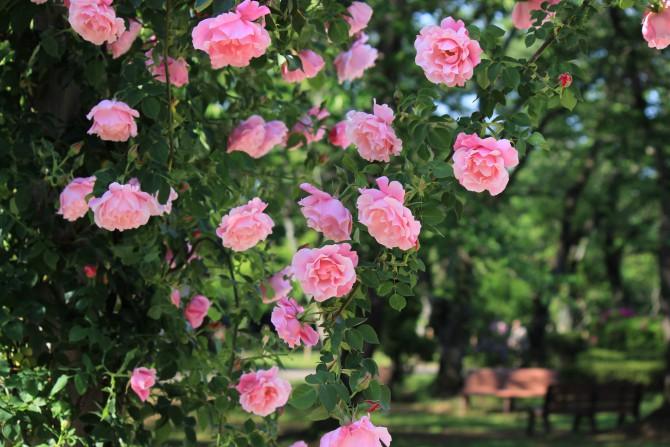 里見公園でバラが咲き始めました