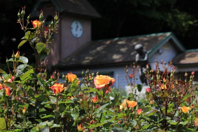 大町自然観察園のバラも咲き始めました