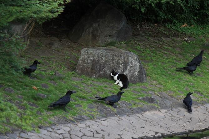 カラスに取り囲まれる猫