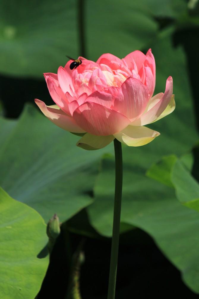 中山法華経寺龍王池の蓮の花
