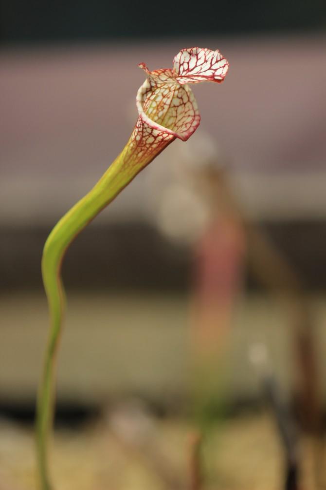 市川市観賞植物園の食虫植物