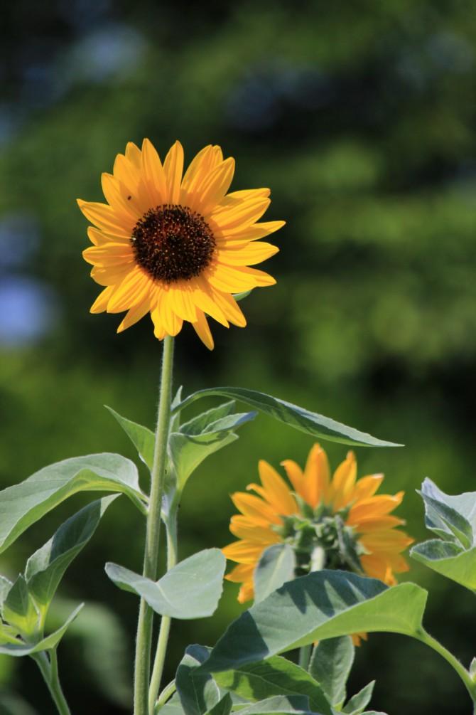 ニッケコルトンプラザで見つけた向日葵
