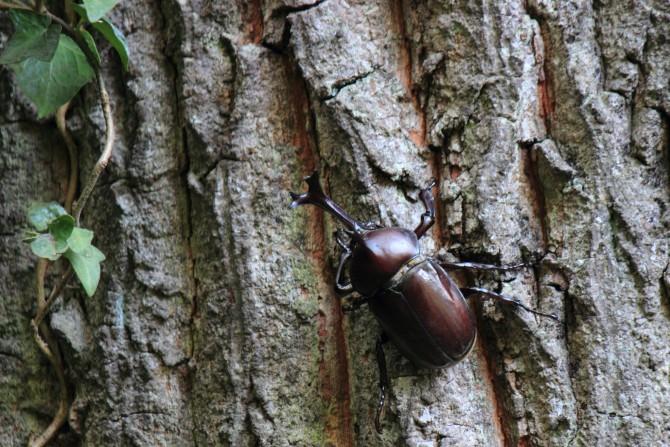 ニッケコルトンプラザ 世界のカブト虫 クワガタ昆虫展