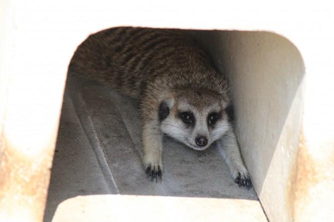 市川市動物園のミーアキャット