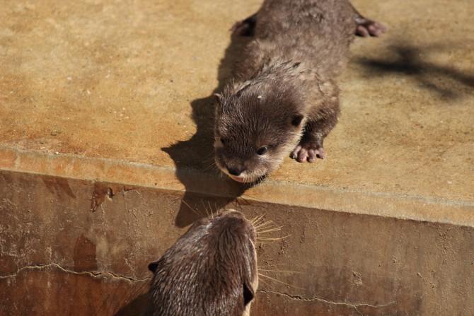 市川市動物園 カワウソの赤ちゃん
