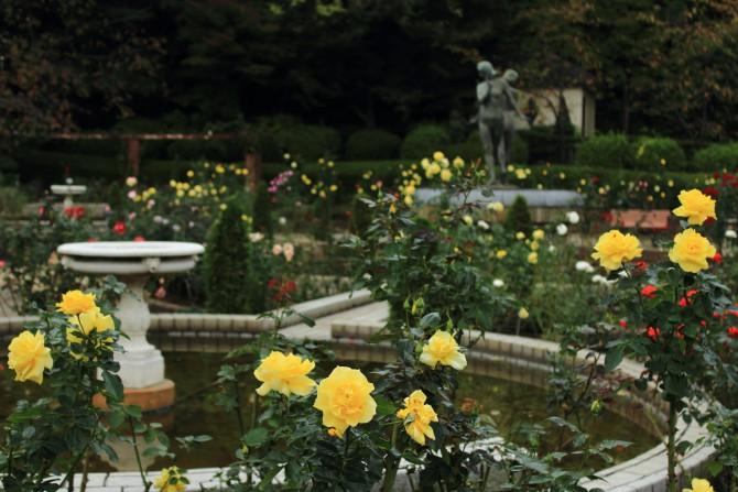里見公園の秋バラとテレビ収録のご案内