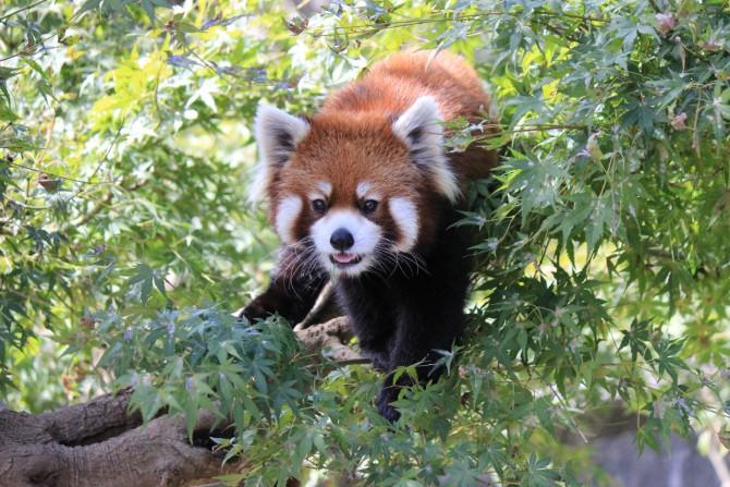 市川市動物園のレッサーパンダ
