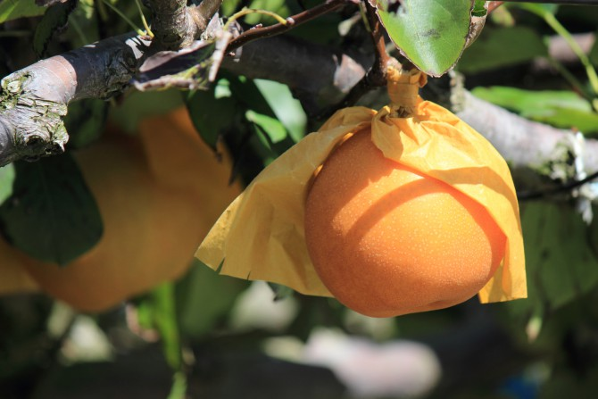 市川の梨のシーズンもそろそろ終わり