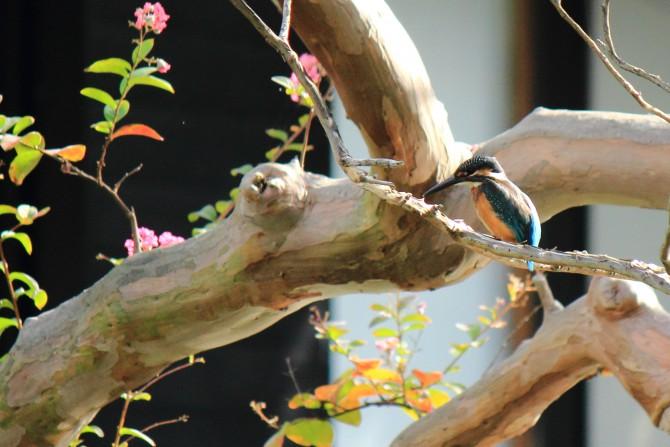 手児奈霊神堂のカワセミ
