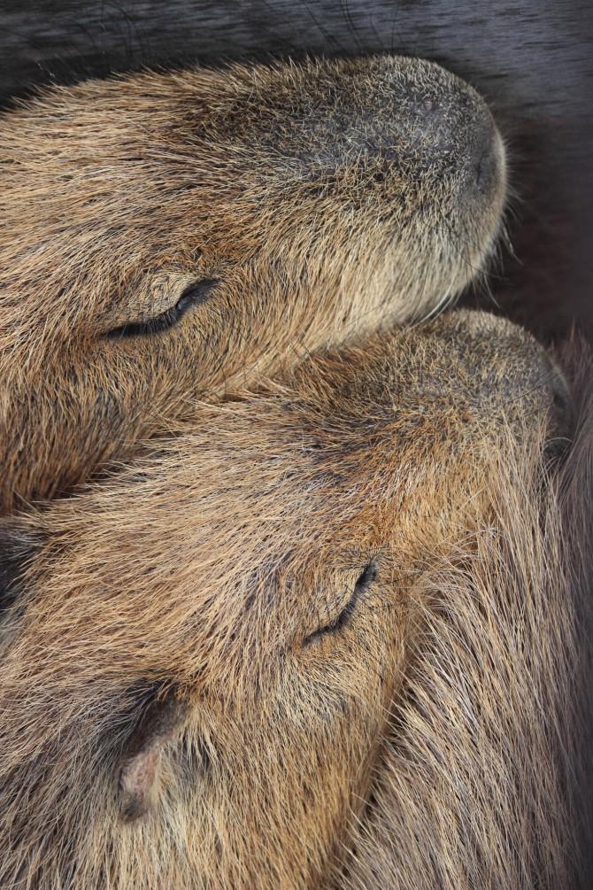 ピッタリくっついてお昼寝中 市川市動物園のカピバラ