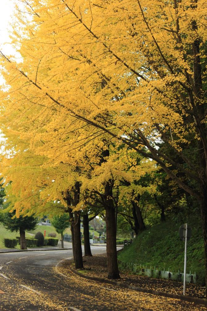 市川市霊園のイチョウ並木