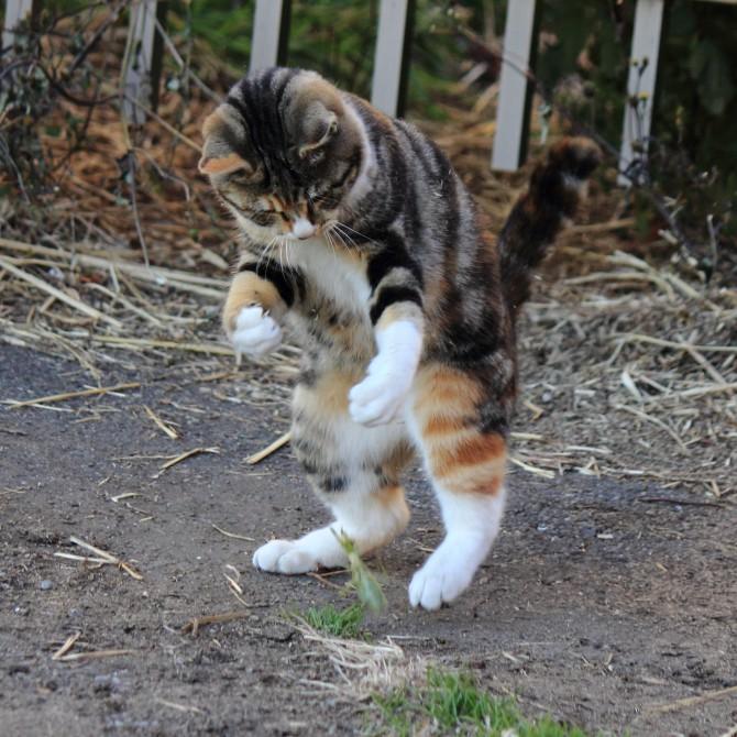 猫 vs カマキリ