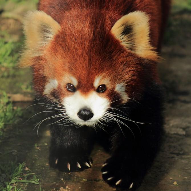 市川市動植物園 レッサーパンダの娘娘(ニャンニャン)