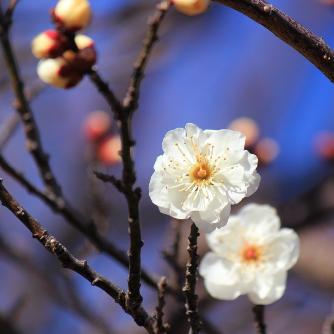 里見公園の梅の花