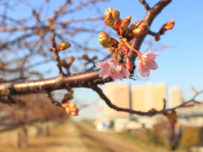 江戸川の河津桜並木