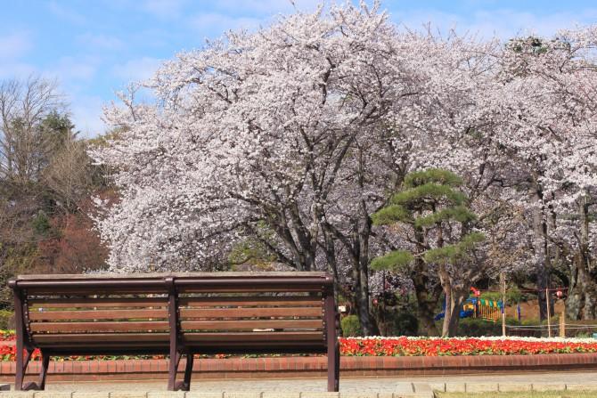 里見公園でもソメイヨシノが満開