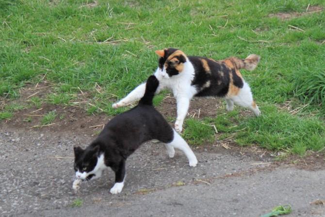 逃げるオス猫、飛びかかるメス猫