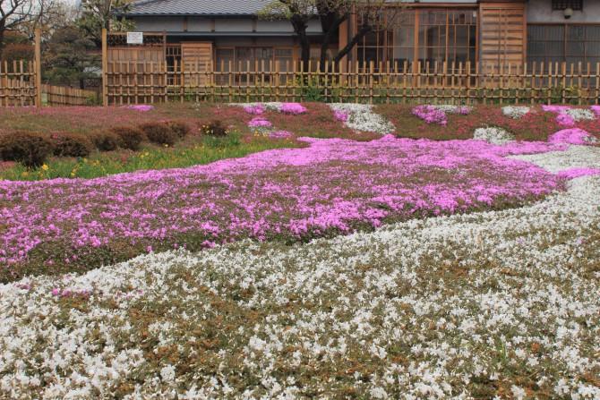郭沫若記念館の芝桜が開花