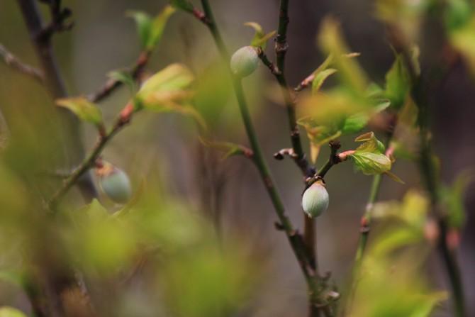 梅の樹にはすでに梅の実が じゅん菜池緑地にて