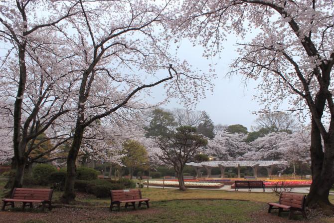里見公園桜まつり 2013年
