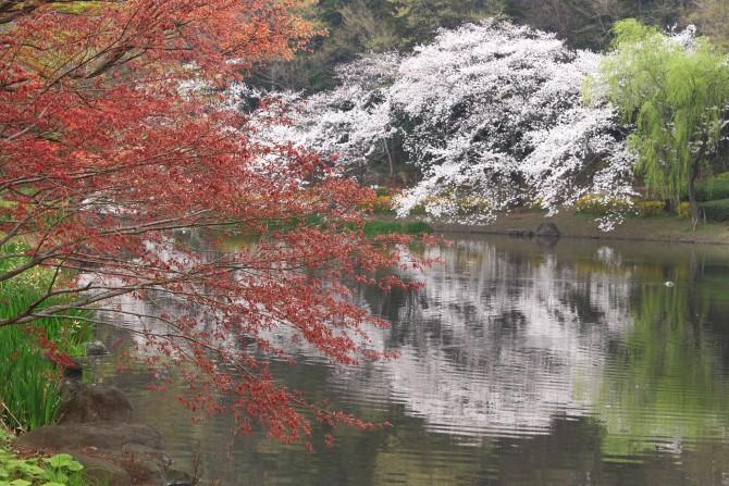 桜と紅葉? じゅん菜池緑地にて