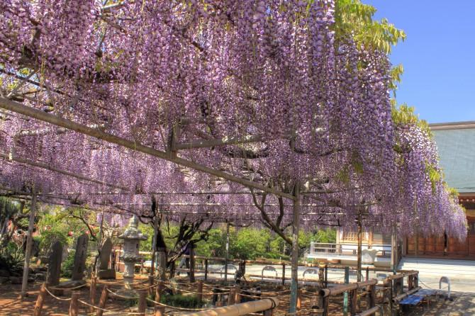 高圓寺の長寿藤がそろそろ見頃