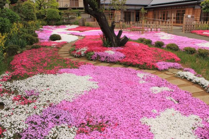 郭沫若記念館の芝桜
