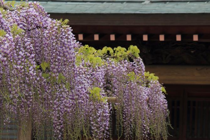 高圓寺の長寿藤と2013年の藤まつりの日程