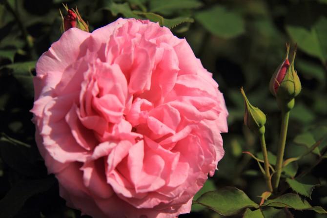 里見公園のバラ ローズいちかわ