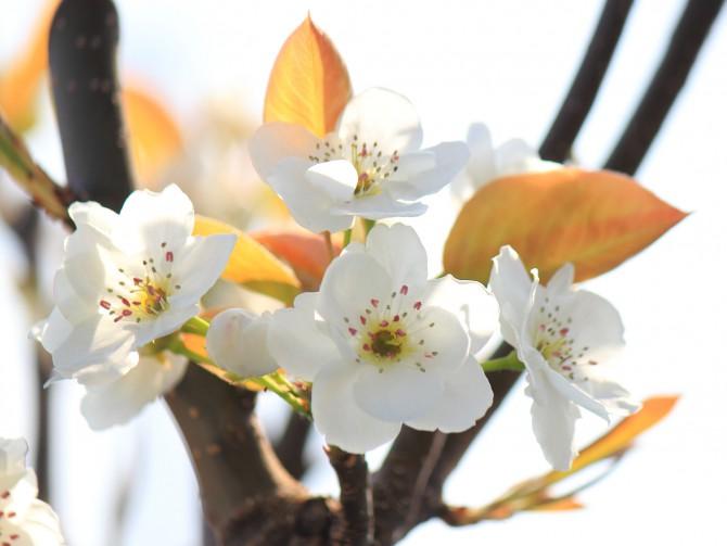 梨の花が咲いています