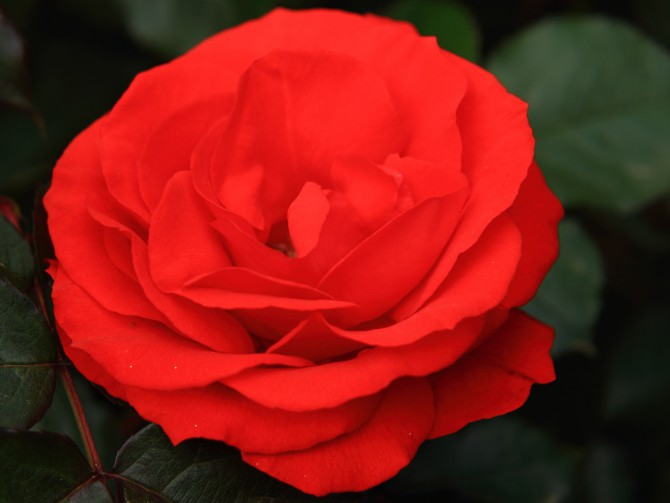 須和田公園でもバラが咲き始め
