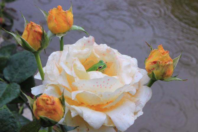 バラの花の中で雨の日に